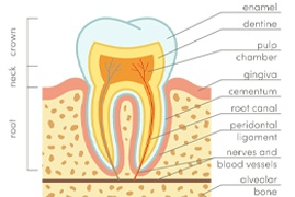 A diagram and explanation of a tooth's anatomy